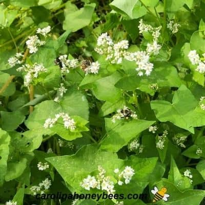 Why Planting Buckwheat is Good for Bees