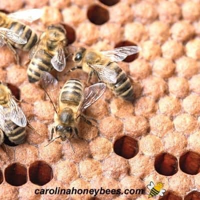 Capped brood in hive during new inspection image.