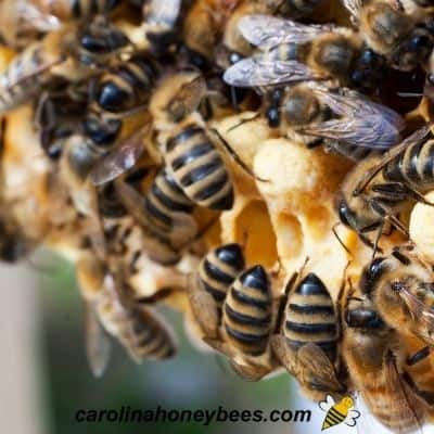 Darker colored bees on comb image.