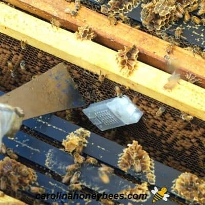 Checking queen cage for release during new hive inspection image.