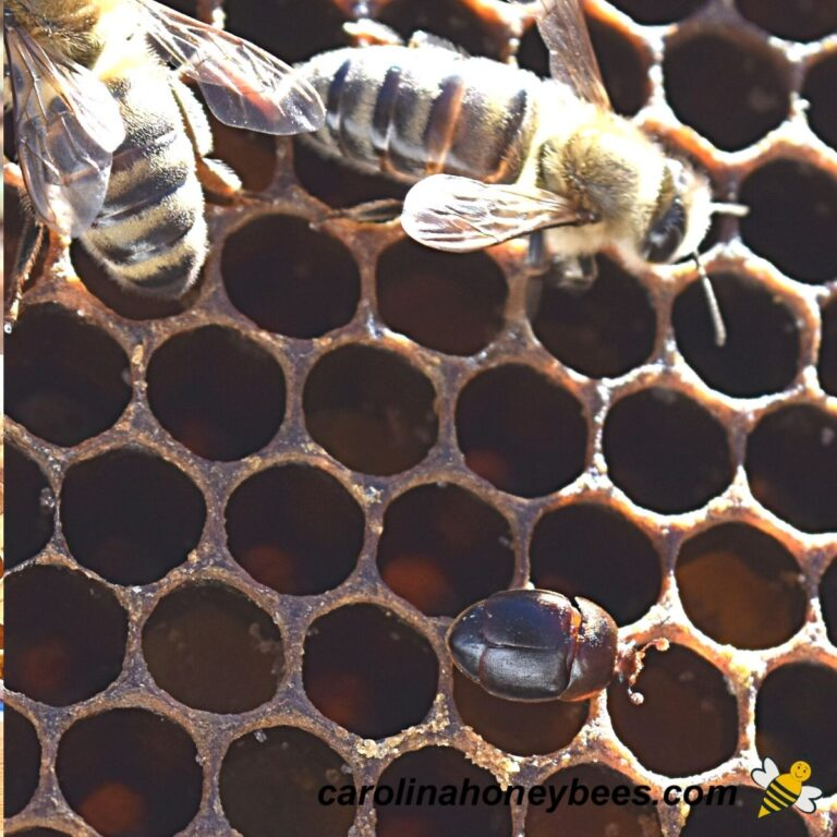 Keys to Controlling Small Hive Beetles