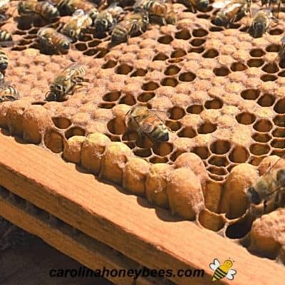 Drone honey bee brood in a beehive frame image.