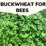Strip of buckwheat plants in bloom to feed honey bees image.