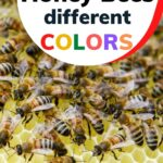 Worker bees of different shades why are honey bees different colors image.
