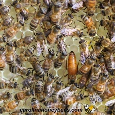 Why are Honey Bees Different Colors?