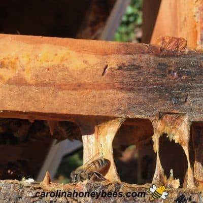 Propolis or bee glue the term for sticky substance inside the hive image.