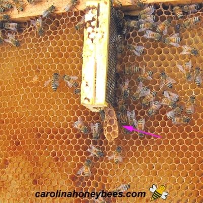 Queen cage in new hive with burr comb image.