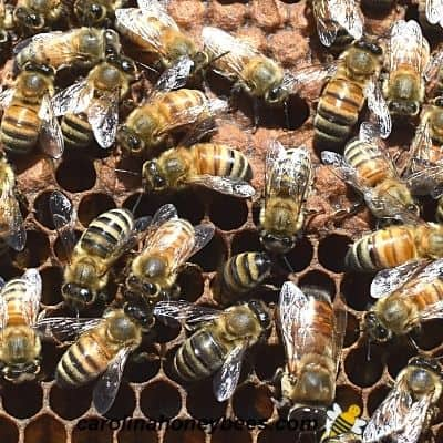 Older worker bees inside the hive image.