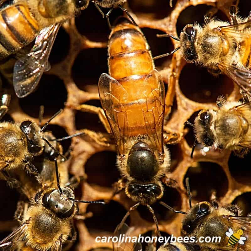 Large mated queen honey bee laying in hive image.
