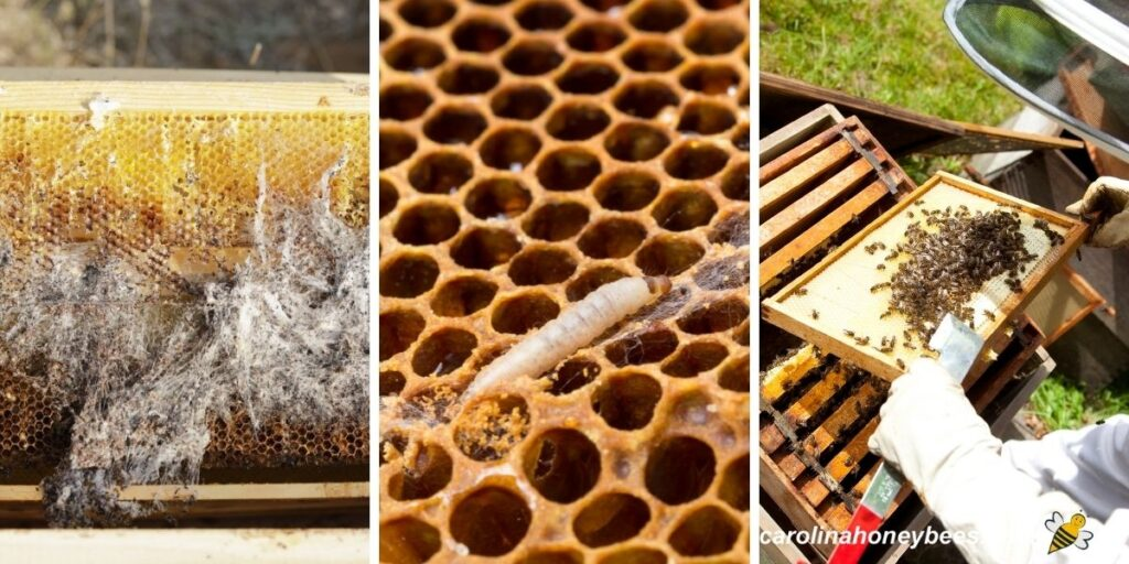 Wax moth damage and other pests of the beehive image.