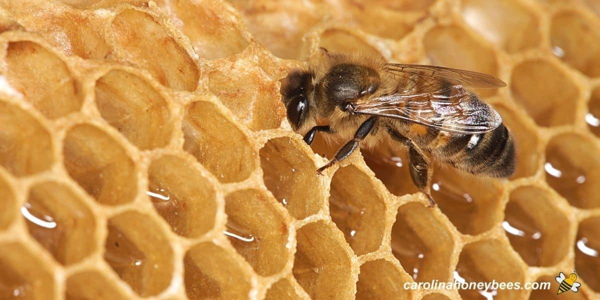 Single honey bee making honey in comb image.