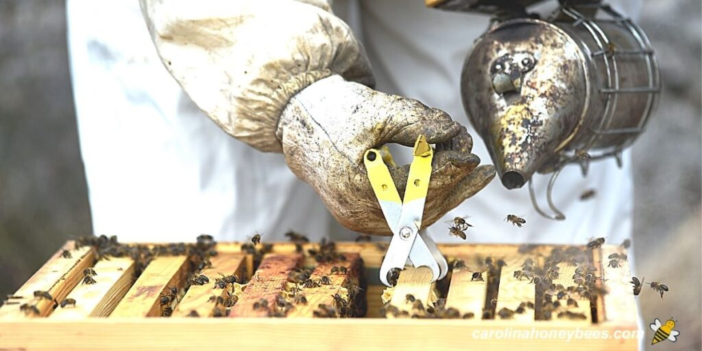 Hobby beekeeper inspect hive with smoker image.
