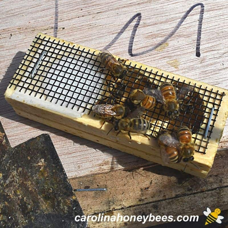 Colony bees biting cage of new queen they dont recognize image.