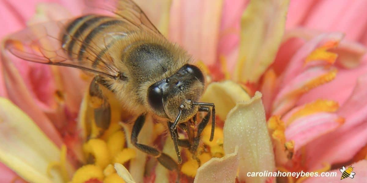 Honey bee feeding on flower image.