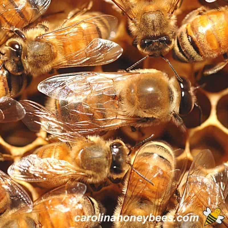 Drone honey bee the males of the colony among workers in hive image.