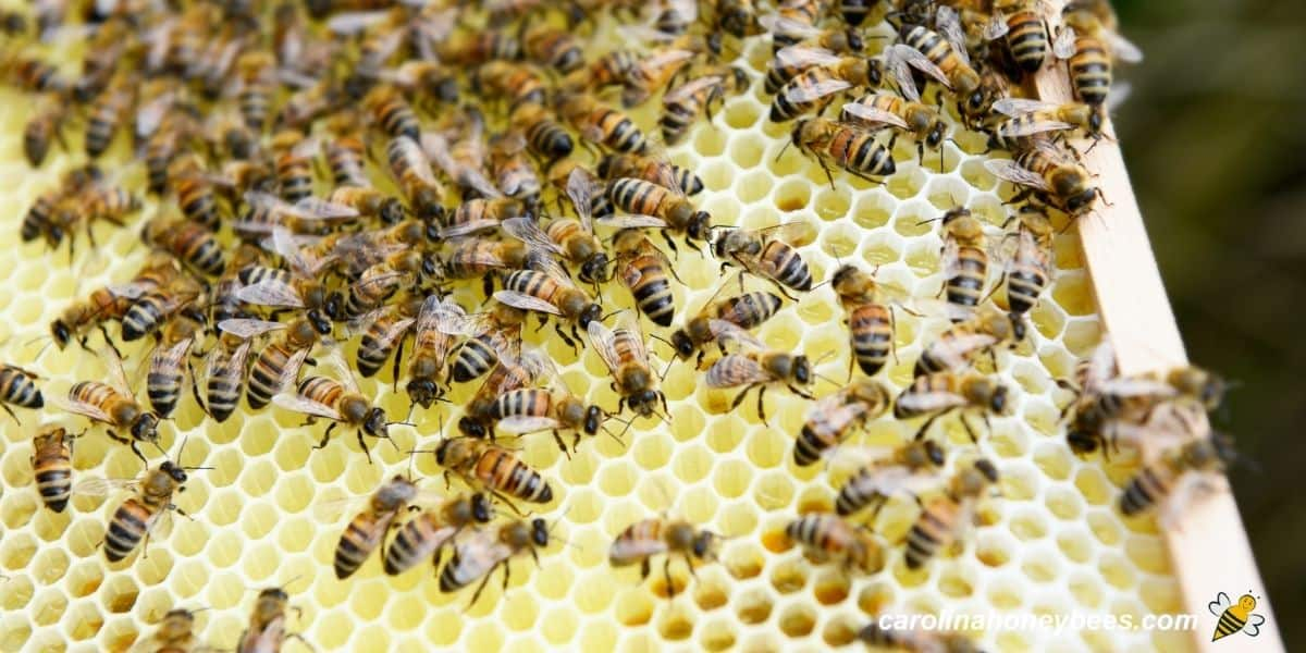 Frame of mostly empty comb with bees image.