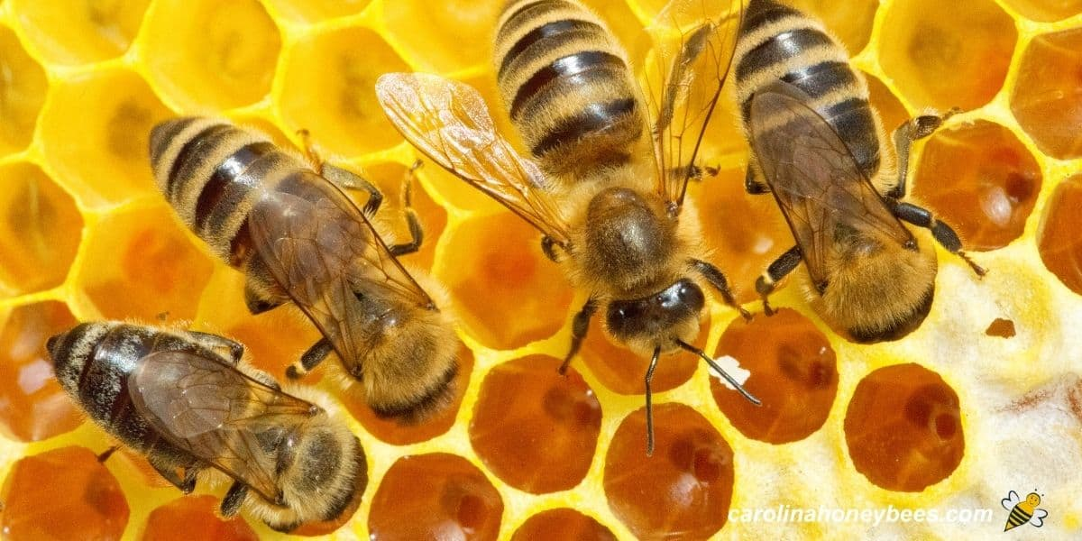 Honey bees on comb producing honey for the colony image.