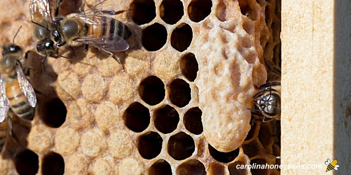 Mature queen cell on the comb in a hive image.