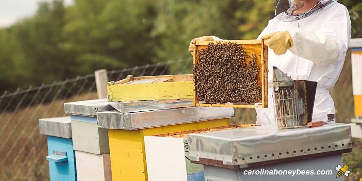 Beginner beekeeper inspecting frames in a beehive image.