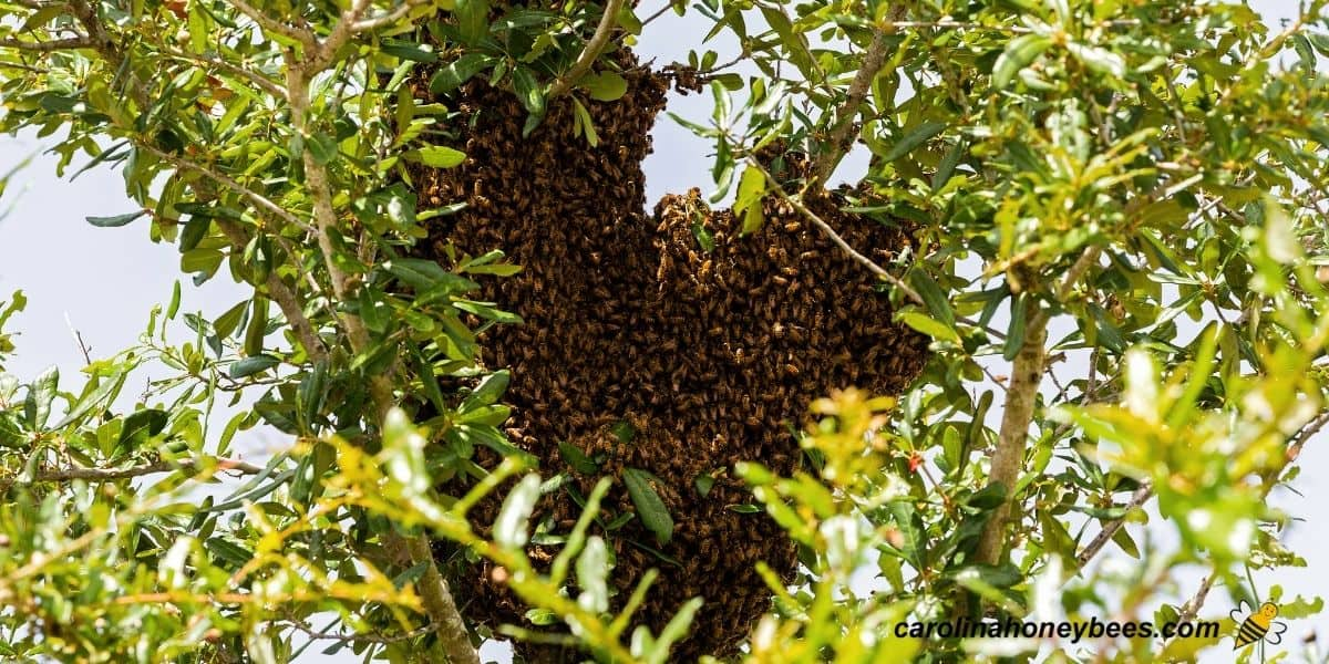 Swarm of Africanized or Killer bee swarm in a tree image.