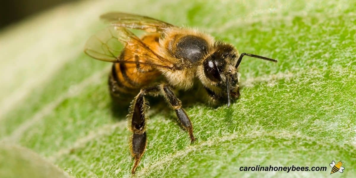 Africanized honey bee worker resting on a leaf image.