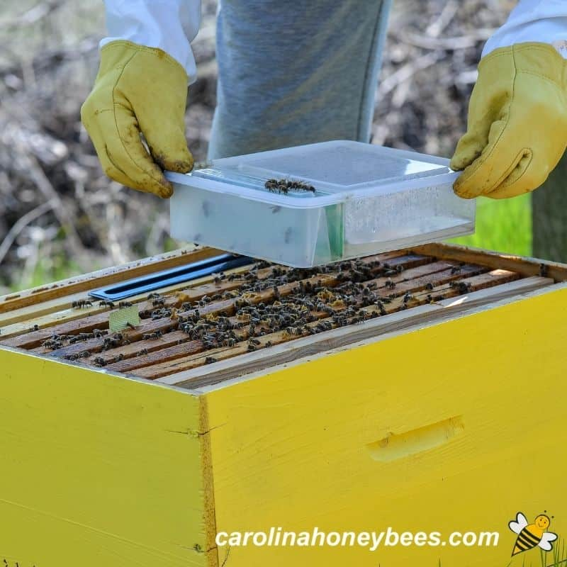 Beekeeper feeding essential oils in sugar water to colony image.