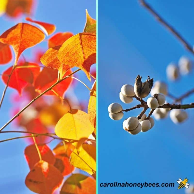 Fall leaves and white seed pods of invasive popcorn tree chinese tallow image.