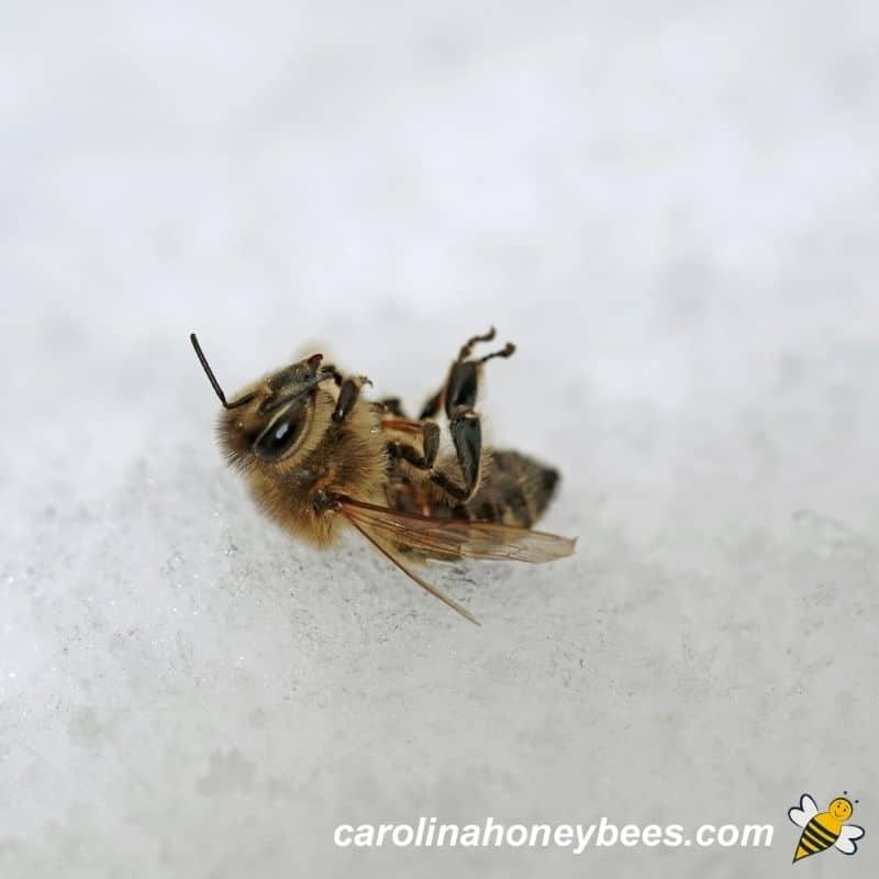 Dead honey bee in Winter snow image.