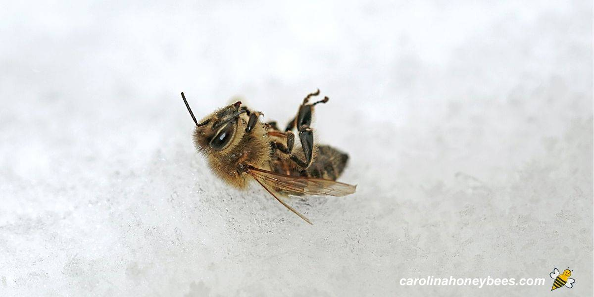 Dead honey bee in Winter snow unable to fly in cold image.