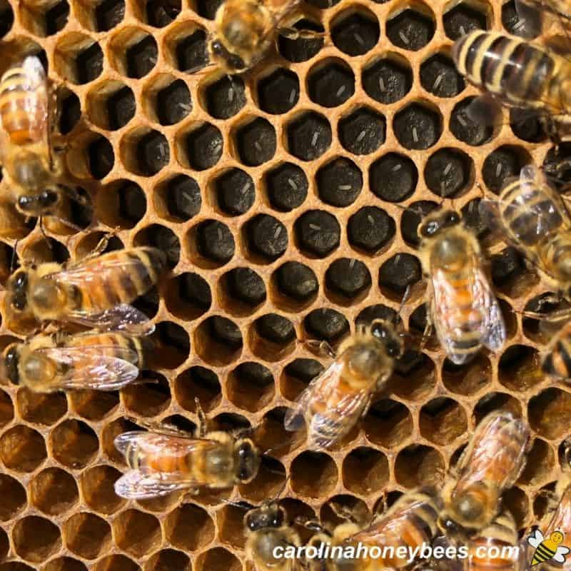 Fresh bee eggs laid by the queen in honeycomb cells image.