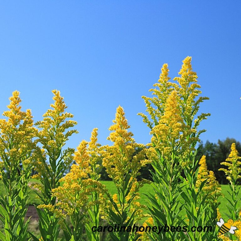 Goldenrod and Bees – A Beautiful Combination