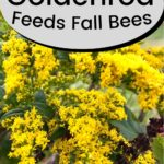 Bright yellow goldenrod plants in bloom food for bees image.