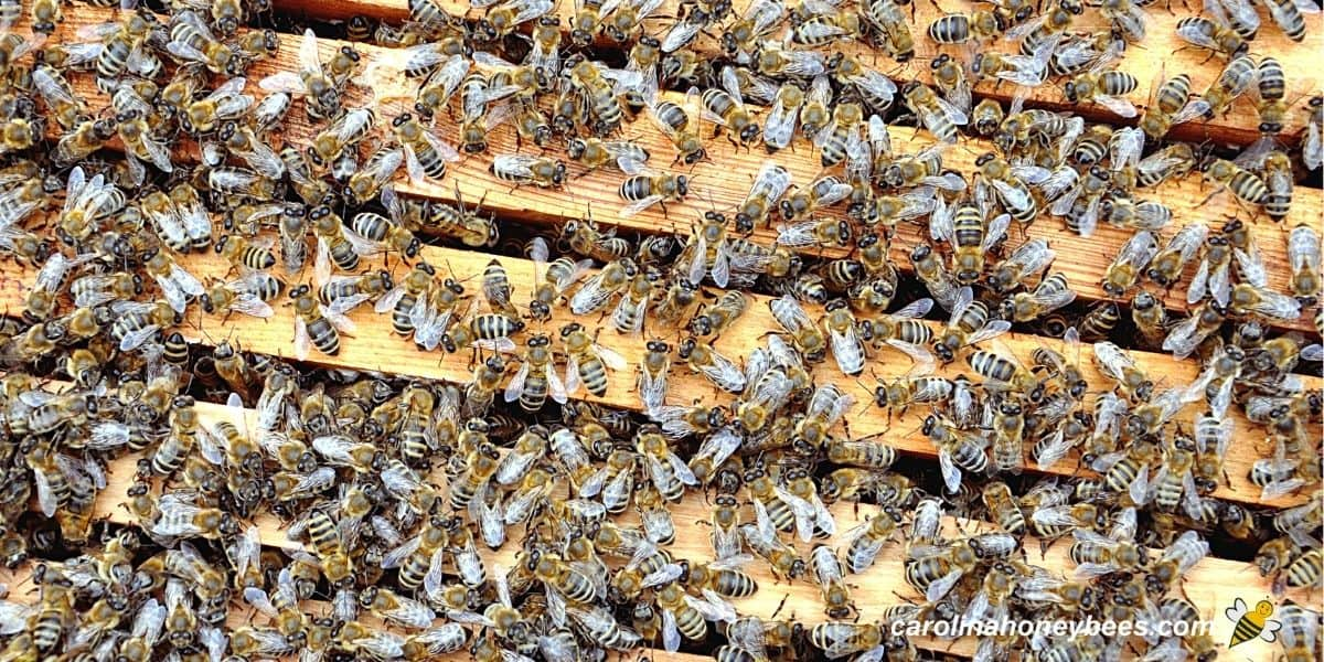 Full honey bee colony in a beehive image.