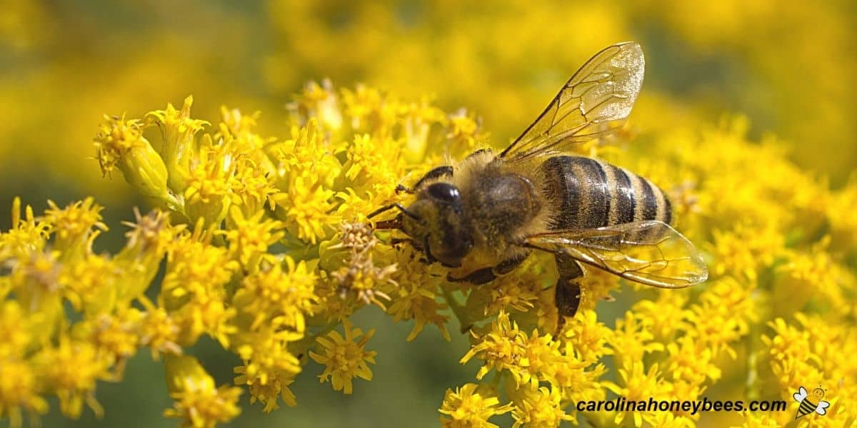 Worker bees gathering nectar from goldenrod bloom image.