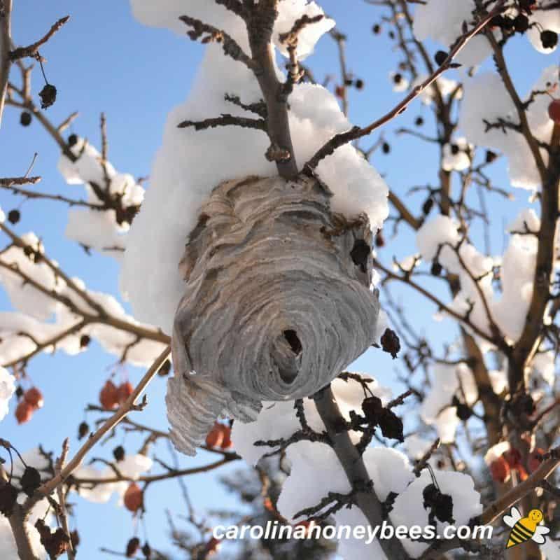 Empty winter hornet nest abandoned image.