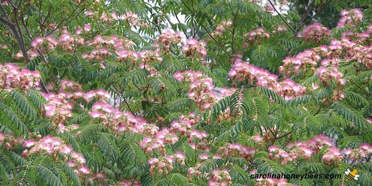 Wild growing mimosa trees image.