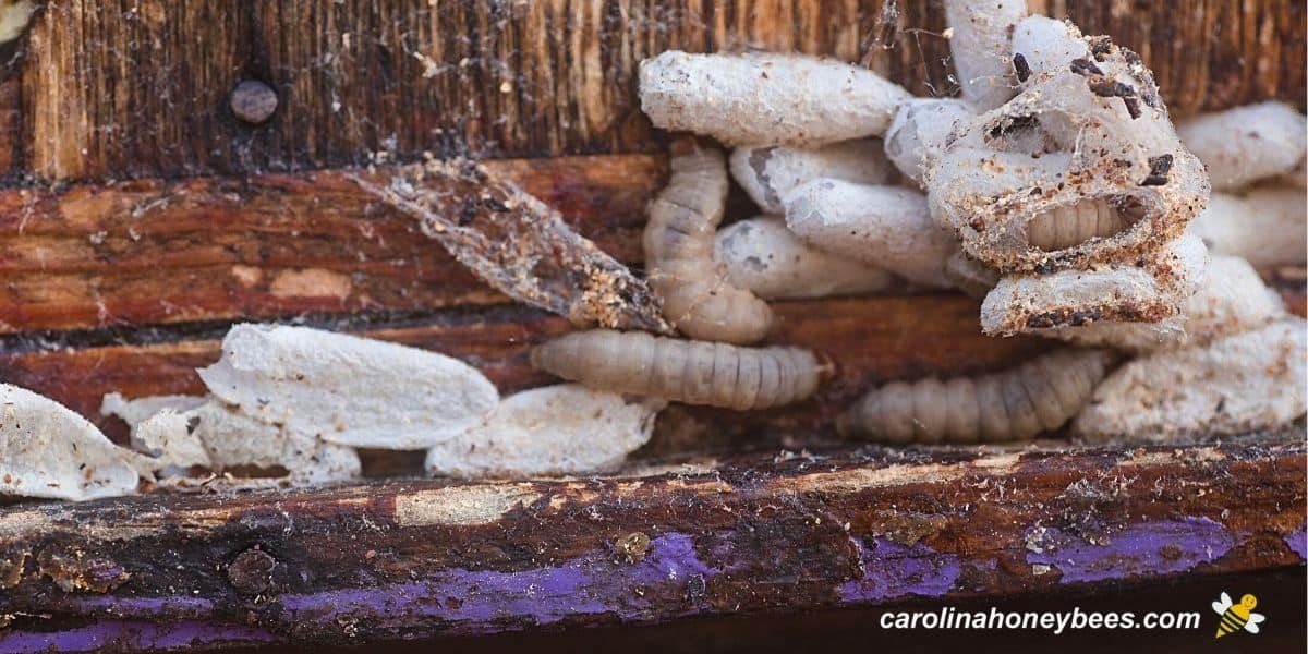 Larvae and cocoons of wax moths in a beehive image.