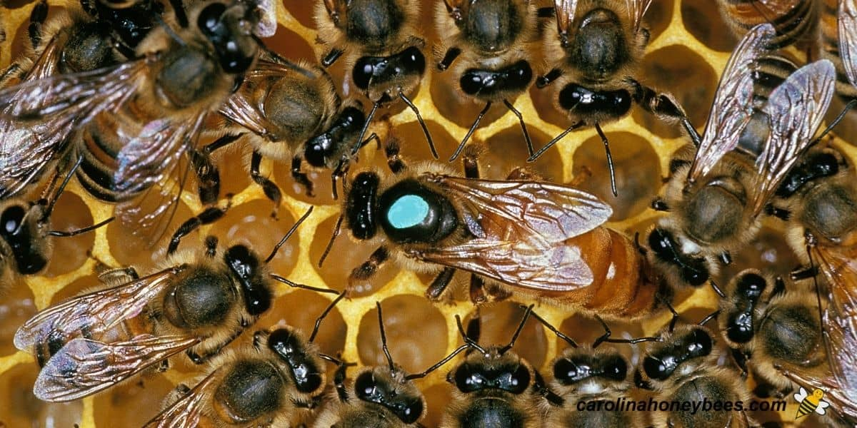 Large size queen honey bee surrounded by workers on comb image.
