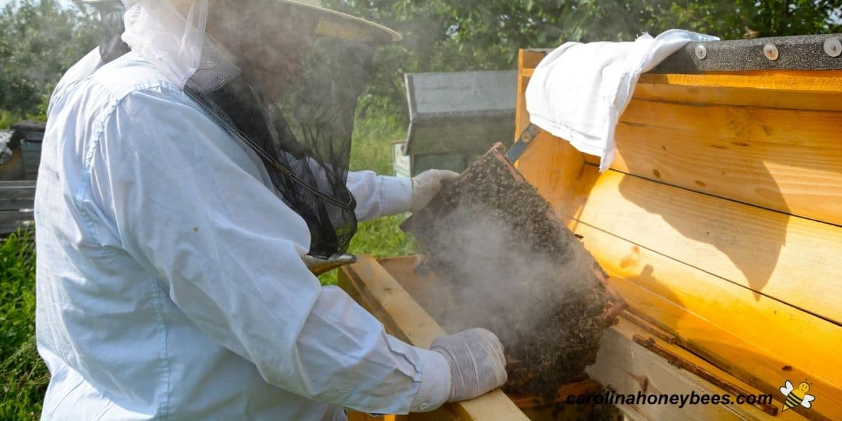 Experienced beekeeper inspecting a hive of killer bees with protective gear and smoker image.