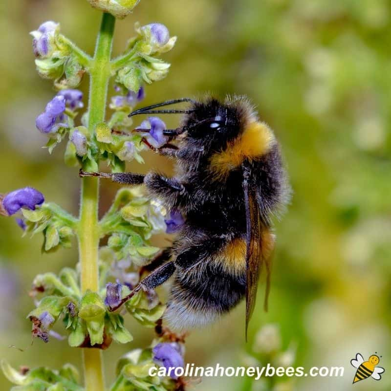 Bumble bee on spring flower image.