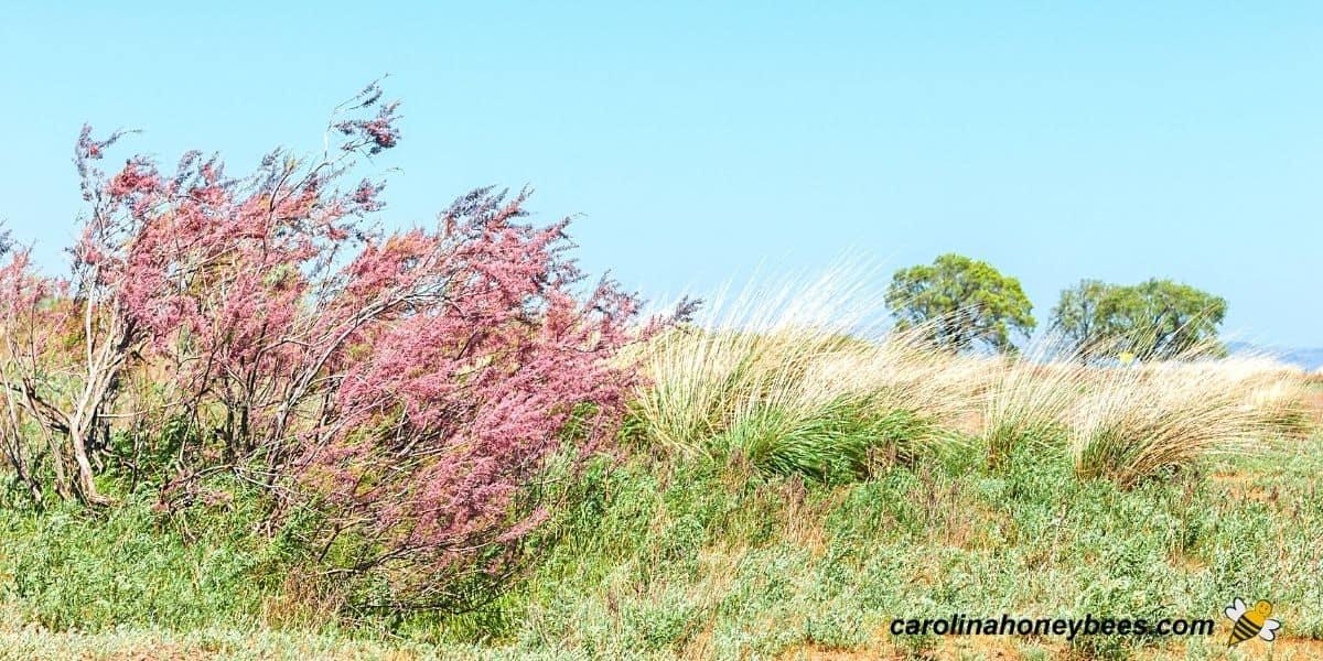 Pink flowers of invasive saltcedar Tamarisk trees image.