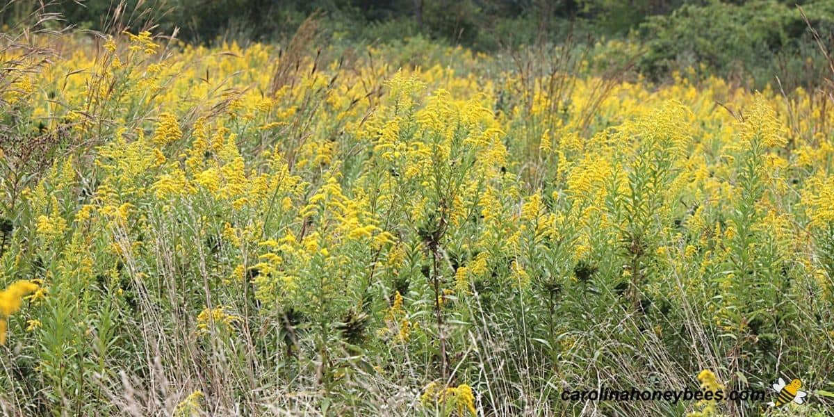 Goldenrod growing wild in untended field image.