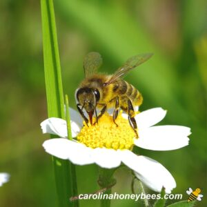 First honey bees to appear in springtime on white flower image.