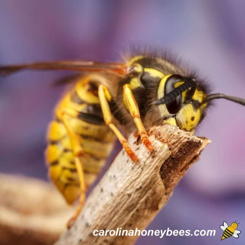 Mated Yellow jacket queen preparing for Winter time image.