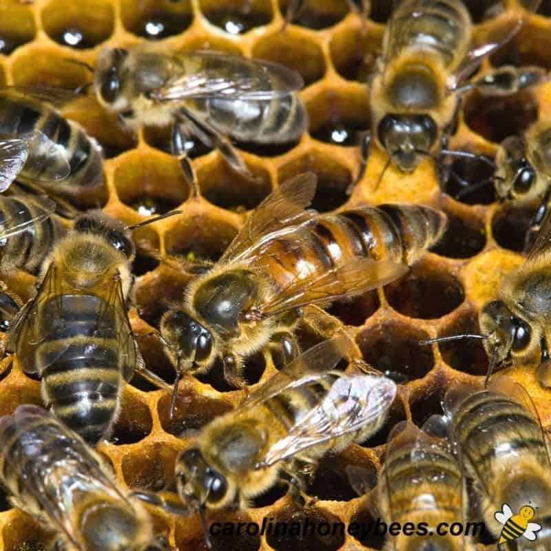 Adult queen bee fed a special diet image.