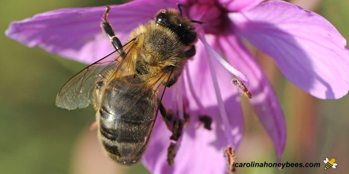 Older worker honey bee with tattered wings due to age foraging image.