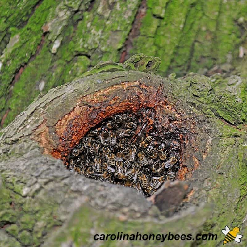 Honey bee colony difficult to remove from small opening in a tree image.