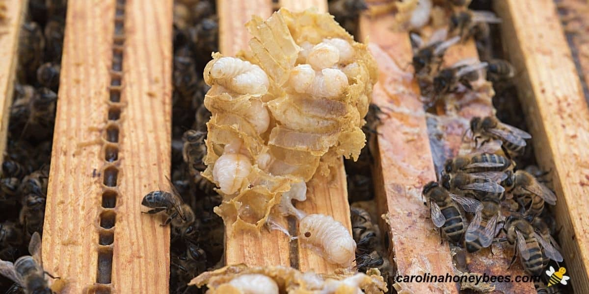 Beekeeper finding mites in brood because of mistake in not inspecting image.