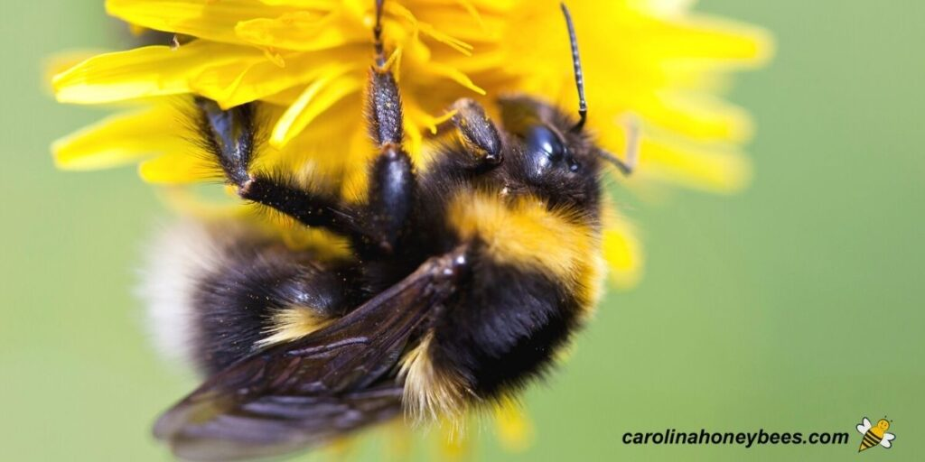 Large bumble bee on yellow flower image.