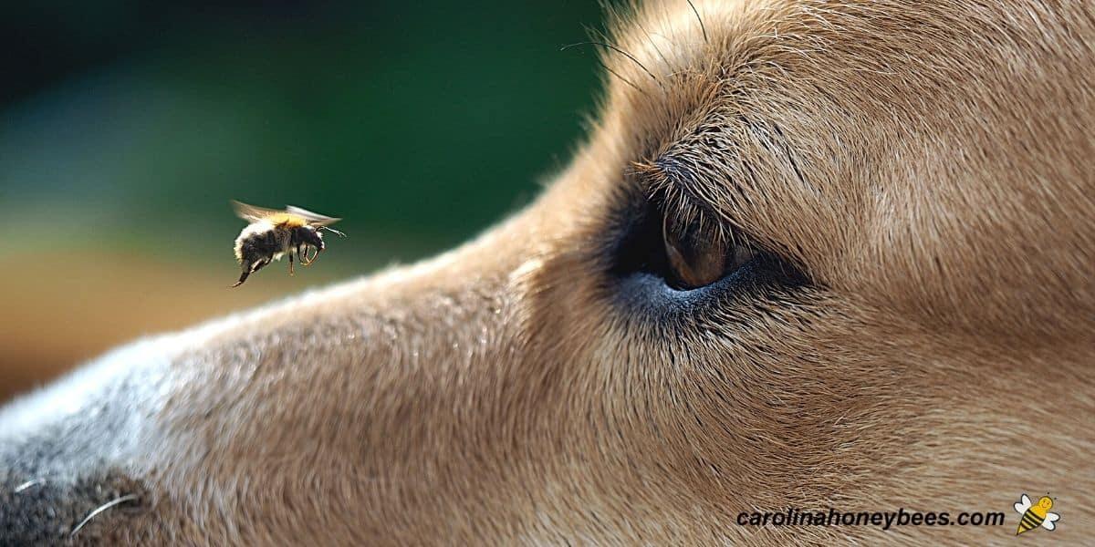 Dog looking a honey bee in flight image.